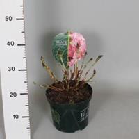 "Plantenwinkel.nl Hydrangea Macrophylla ""Black Diamond® Baroque Angel Pink""® boerenhortensia - 25-30 cm - 1 stuks"