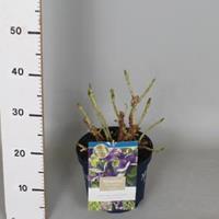 "Plantenwinkel.nl Hydrangea Macrophylla ""Magical Amethyst Blauw""® boerenhortensia - 25-30 cm - 1 stuks"