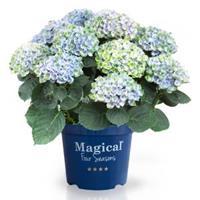 "Plantenwinkel.nl Hydrangea Macrophylla ""Magical Revolution Blue""® boerenhortensia - 25-30 cm - 1 stuks"