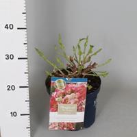 "Plantenwinkel.nl Hydrangea Macrophylla ""Magical Revolution Roze""® boerenhortensia - 25-30 cm - 1 stuks"