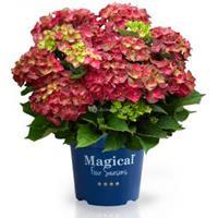 "Plantenwinkel.nl Hydrangea Macrophylla ""Magical Ruby Tuesday""® boerenhortensia - 25-30 cm - 1 stuks"
