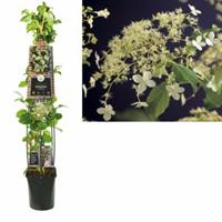 "Plantenwinkel.nl Klimhortensia (Hydrangea anomala ""Petiolaris"") klimplant - 120 cm - 1 stuks"