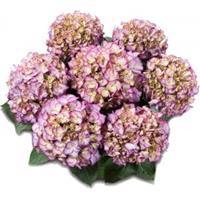 "Plantenwinkel.nl Hydrangea Macrophylla Classic® ""Adula Blue""® boerenhortensia"