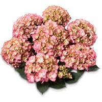 "Plantenwinkel.nl Hydrangea Macrophylla Classic® ""Adula Pink""® boerenhortensia"