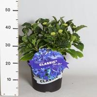 "Plantenwinkel.nl Hydrangea Macrophylla Classic® ""Fripon Blue""® boerenhortensia"