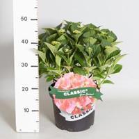 "Plantenwinkel.nl Hydrangea Macrophylla Classic® ""Green Shadow""® boerenhortensia"