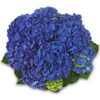 "Plantenwinkel.nl Hydrangea Macrophylla Classic® ""Jip""® boerenhortensia"