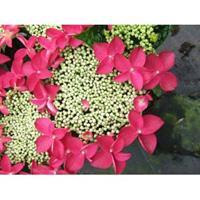 "Plantenwinkel.nl Hydrangea Macrophylla Classic® ""Lady In Red""® schermhortensia - 30-40 cm - 1 stuks"