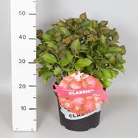 """Plantenwinkel.nl Hydrangea Macrophylla Classic® """"Selma""""® boerenhortensia"""