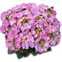 "Plantenwinkel.nl Hydrangea Macrophylla Classic® ""Tiffany Blue""® schermhortensia"