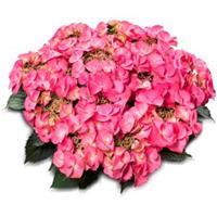 "Plantenwinkel.nl Hydrangea Macrophylla Classic® ""Tiffany Pink""® schermhortensia"