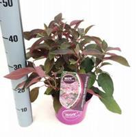 "Plantenwinkel.nl Hydrangea Aspera ""Hot Chocolate""® fluweelhortensia - 30-35 cm - 1 stuks"