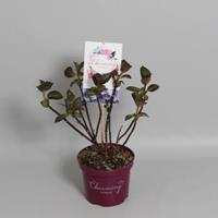 "Plantenwinkel.nl Hydrangea Macrophylla ""Charming® Sophia Blue""® boerenhortensia - 25-30 cm - 1 stuks"
