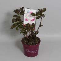 "Plantenwinkel.nl Hydrangea Macrophylla ""Charming® Alice Pink""® boerenhortensia - 25-30 cm - 1 stuks"