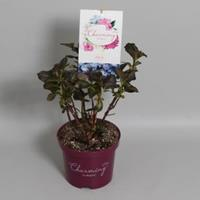 "Plantenwinkel.nl Hydrangea Macrophylla ""Charming® Alice Blue""® boerenhortensia - 25-30 cm - 1 stuks"