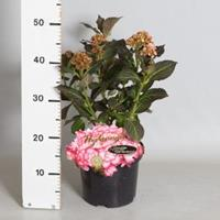 """Plantenwinkel.nl Hydrangea Macrophylla """"Miss Saori""""® boerenhortensia"""