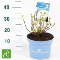 "Plantenwinkel.nl Hydrangea Macrophylla ""Endless Summer White""® boerenhortensia"
