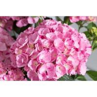 "Plantenwinkel.nl Hydrangea Macrophylla ""Hovaria Sweet Fantasy"" boerenhortensia"