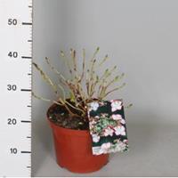 "Plantenwinkel.nl Hydrangea Macrophylla ""Hovaria Love You Kiss"" schermhortensia"