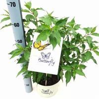 "Plantenwinkel.nl Hydrangea Paniculata ""Butterfly""® pluimhortensia - 60-65 cm - 1 stuks"
