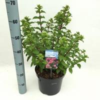 "Plantenwinkel.nl Hydrangea Paniculata ""Diamond Rouge""® pluimhortensia - 40-50 cm - 1 stuks"