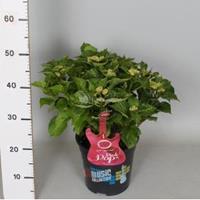 """Plantenwinkel.nl Hydrangea Macrophylla Music Collection """"Pink Pop""""® boerenhortensia - 30-40 cm - 1 stuks"""