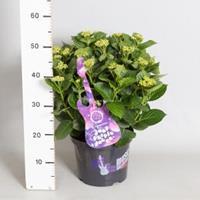 """Plantenwinkel.nl Hydrangea Macrophylla Music Collection """"Deep Purple Dance""""® boerenhortensia - 30-40 cm - 1 stuks"""