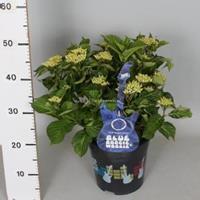 """Plantenwinkel.nl Hydrangea Macrophylla Music Collection """"Blue Boogiewoogie""""® boerenhortensia - 30-40 cm - 1 stuks"""
