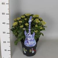 "Plantenwinkel.nl Hydrangea Macrophylla Music Collection ""Blue Ballad""® boerenhortensia - 30-40 cm - 1 stuks"