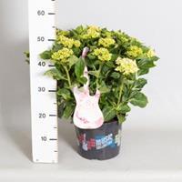 "Plantenwinkel.nl Hydrangea Macrophylla Music Collection ""Soft Pink Salsa""® boerenhortensia - 30-40 cm - 1 stuks"