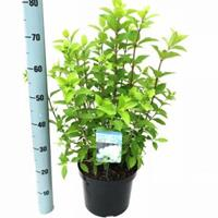"Plantenwinkel.nl Hydrangea Paniculata ""Limelight""® pluimhortensia - 30-40 cm - 1 stuks"