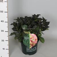 "Plantenwinkel.nl Hydrangea Macrophylla ""Black Diamond® Red Angel""® boerenhortensia - 30-40 cm - 1 stuks"