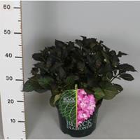"Plantenwinkel.nl Hydrangea Macrophylla ""Black Diamond® Red Angel Purple""® boerenhortensia - 30-40 cm - 1 stuks"