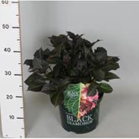 "Plantenwinkel.nl Hydrangea Macrophylla ""Black Diamond® Dark Angel""® schermhortensia - 30-40 cm - 1 stuks"