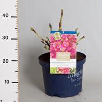 "Plantenwinkel.nl Hydrangea Macrophylla ""Magical Coral Pink""® boerenhortensia - 30-40 cm - 1 stuks"