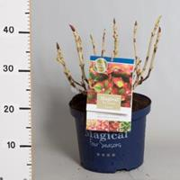 "Plantenwinkel.nl Hydrangea Macrophylla ""Magical Greenfire""® boerenhortensia"