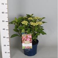 "Plantenwinkel.nl Hydrangea Macrophylla ""Magical Harmony Roze""® boerenhortensia - 30-40 cm - 1 stuks"
