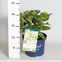 "Plantenwinkel.nl Hydrangea Macrophylla ""Magical Noblesse""® boerenhortensia - 30-40 cm - 1 stuks"