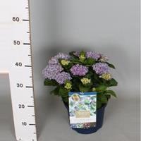 "Plantenwinkel.nl Hydrangea Macrophylla ""Magical Revolution Blue""® boerenhortensia - 30-40 cm - 1 stuks"
