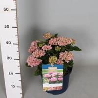 "Plantenwinkel.nl Hydrangea Macrophylla ""Magical Revolution Roze""® boerenhortensia - 30-40 cm - 1 stuks"