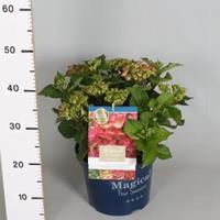 "Plantenwinkel.nl Hydrangea Macrophylla ""Magical Ruby Tuesday""® boerenhortensia - 30-40 cm - 1 stuks"