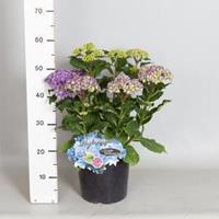 "Plantenwinkel.nl Hydrangea Macrophylla ""Double Flowers Blue""® boerenhortensia - 30-40 cm - 1 stuks"