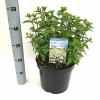 "Plantenwinkel.nl Hydrangea Paniculata ""Bobo""® pluimhortensia - 30-40 cm - 1 stuks"
