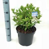 "Plantenwinkel.nl Hydrangea Paniculata ""Bombshell""® pluimhortensia - 35-40 cm - 1 stuks"