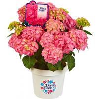 "Plantenwinkel.nl Hydrangea Macrophylla ""Diva Fiore Pink""® boerenhortensia"