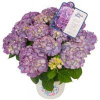 "Plantenwinkel.nl Hydrangea Macrophylla ""Diva Fiore Violet""® boerenhortensia"