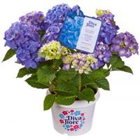 "Plantenwinkel.nl Hydrangea Macrophylla ""Diva Fiore Blue""® boerenhortensia"