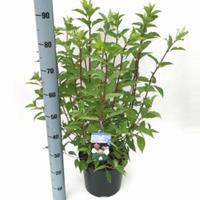 "Plantenwinkel.nl Hydrangea Paniculata ""Phantom"" pluimhortensia - 50-60 cm - 1 stuks"