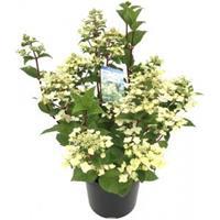 "Plantenwinkel.nl Hydrangea Paniculata ""Wim's Red""® pluimhortensia"