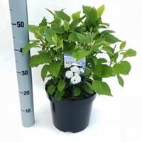 "Plantenwinkel.nl Hydrangea Arborescens ""Annabelle"" sneeuwbalhortensia - 50-60 cm - 1 stuks"